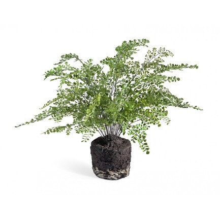 Папоротник Адиантум куст в земле с корнями, 75х65 см