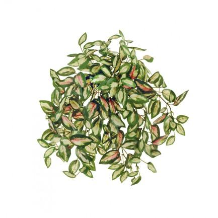 Хойя Дэнс ампельная, 26 см, светло-зелено-розово-зеленая