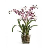Treez Орхидея Онцидиум в стеклянной вазе, 67х45 см