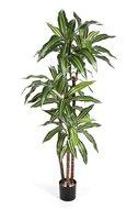 Treez Драцена Джанет Крейг, 3 ствола, 125 см, бело-зеленая