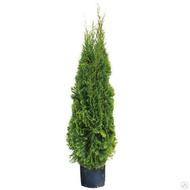 Treez Туя уличная Смарагд Элегант, 120 см, зеленая