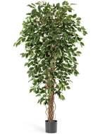 Treez Фикус Бенджамина Лиана, 210 см, зеленый