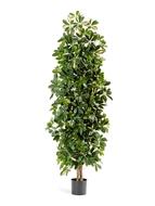 Treez Шеффлера колонновидная, 180 см, пестрая