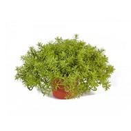 Treez Дасти Миллер куст в горшочке, 20х35 см, нежно-зеленый
