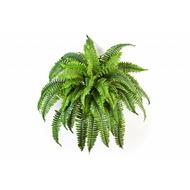 Treez Папоротник Бостон, 26 листов, 55х37 см