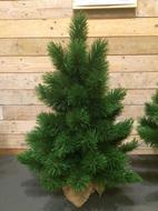 Triumph Tree Ель Триумф Норд, 60 см, в мешочке, зелёная